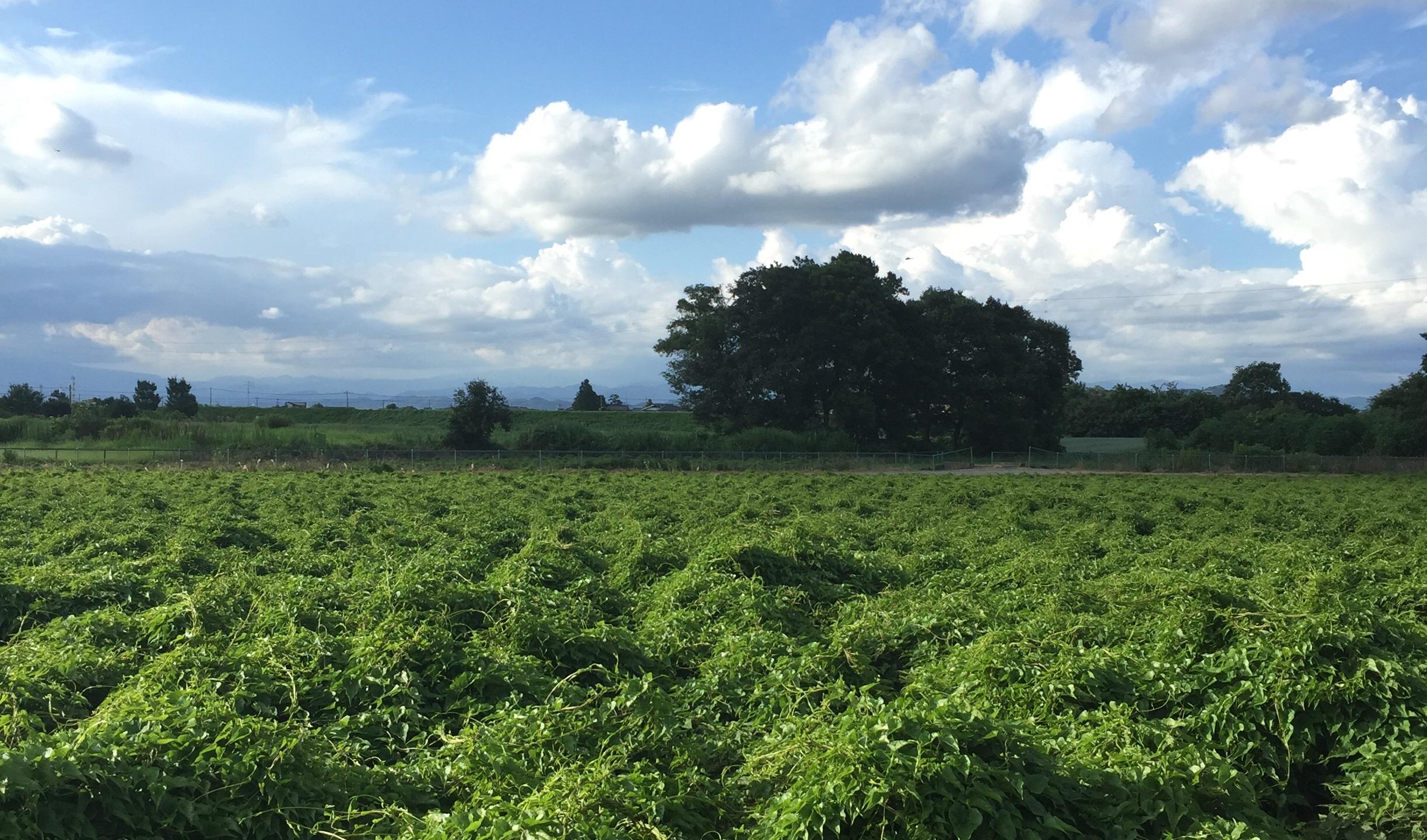 大和芋の栽培風景